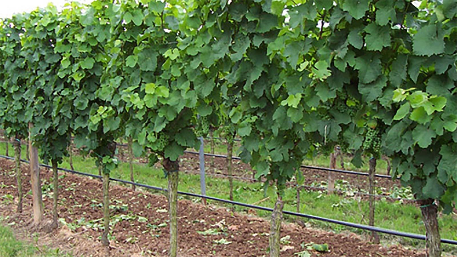 Weinreben Bewässerung
